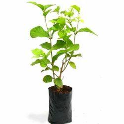 Green Kamini Plants, For Garden