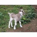 Organic Eid Goat Feed