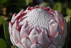 Protea Flower For Decoration
