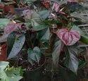 Chocolate Anthurium Plant