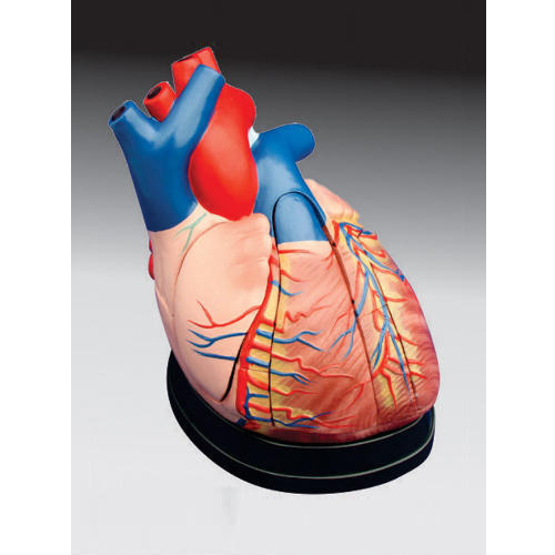 Anatomical Models - Liver, Pancreas and Duodenum Model/ Liver Model