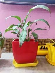 Well Watered Red Peace Lily, Packaging Type: Carton Box, Summer Bloom