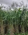 Gopikrishna Grass