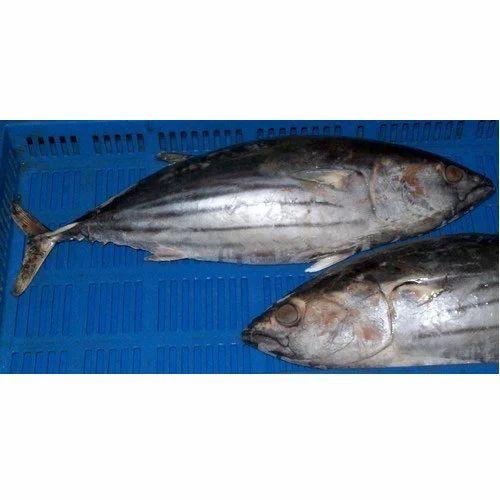 Fresh Fish - Frozen Tuna Exporter from Kochi