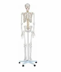 Micro Technologies White Human Skeleton Life Size (Tall 180), For Laboratory