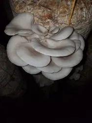 Black oyster mushroom
