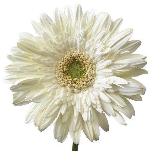 White gerbera flower african daisy flower rathna distributors white gerbera flower mightylinksfo Choice Image