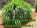 Normal Napier Grass Seeds