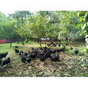 Kadaknath Chicks