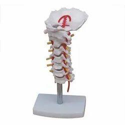 Cervical Vertebral Column with Neck Artery Models