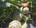 Kaveri F-1 Hybrid Muskmelon Seeds