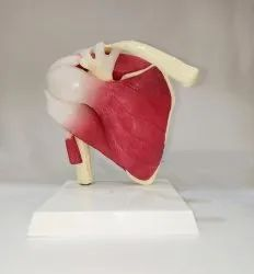 Shoulder Joint With Muscles Model