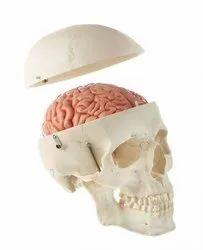 Skull with brain model