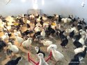 Turkey Farming