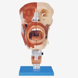Nasal,Oral,Pharynx & Larynx Cavities GD/A13001 Models