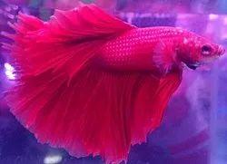 Betta Fish - Wholesale Price & Mandi Rate for Betta Fish