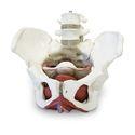 Female Pelvic Skeleton With Organs