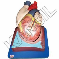 Human Heart 7 Parts Model