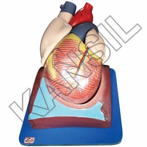 Human Heart 7 Parts Model, Heart & Circulatory System - N. C. Kansil ...