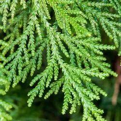 Cedar Leaf Essential Oil