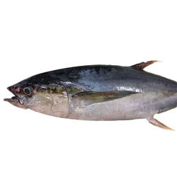 Albacore Tuna Fish, For Restaurant And Mess