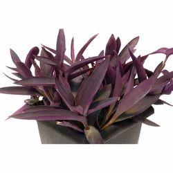 Vertical Garden Plants- Setcreasea Plants