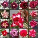 Adenium Flower Plant