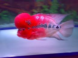 Red Dragon Flowerhorn Fish