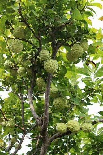 Images Of Custard Apple Plant