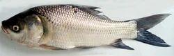 Katala Fish without cut 1.5 to 2 kg wait