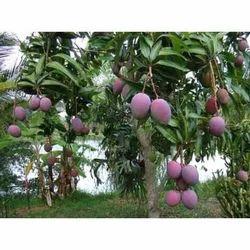 Blue Mango Plant