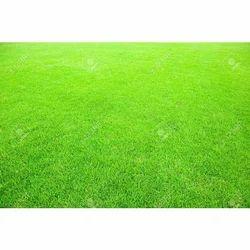 Sports Ground Natural Carpet Grass