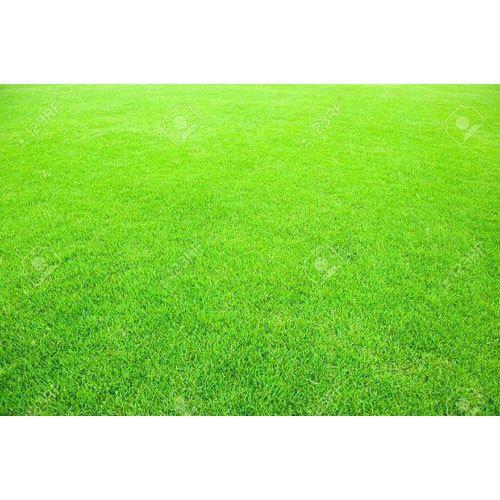 carpet grass. carpet grass