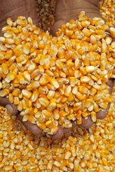 Dry Yellow Maize for Animal feed