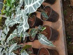 Slow Growth Green Alocasia Amazonica