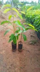 Garden Mahogany Plant