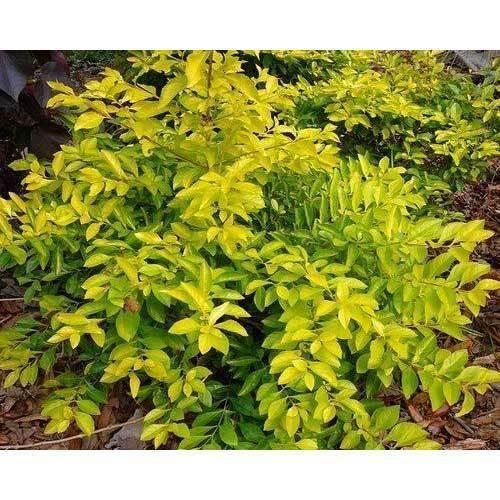 golden duranta plant  Golden Duranta Plant at Rs 10 /set | Hedges Plants - Green Bharat ...