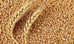 Golden Raw Wheat, Speciality: High In Protein