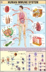 Human Immune System For Aids Chart