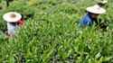 Organic Certification For Tea