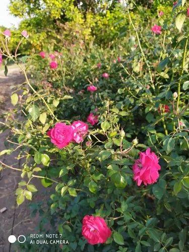 Rose Flowers Plants Fresh Kinnow Fruit Producers From Abohar