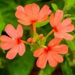Crossandra Kanakambaram Seeds
