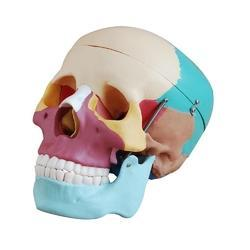 Colored Skull Model