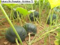 Hybrid Green Pumpkin Seeds- Sakura-f1 Krishna-72, Packaging Type: Pouch & Tin Packing, Packaging Size: 10gm, 25gm & 50gm