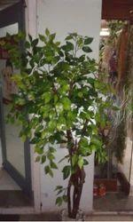 Decorative Plant In Ahmedabad À¤¸à¤œ À¤µà¤Ÿ À¤ª À¤§ À¤…हमद À¤¬ À¤¦ Latest Price Mandi Rates From Dealers In Ahmedabad