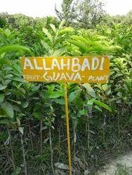 Allahabadi Guava Plant
