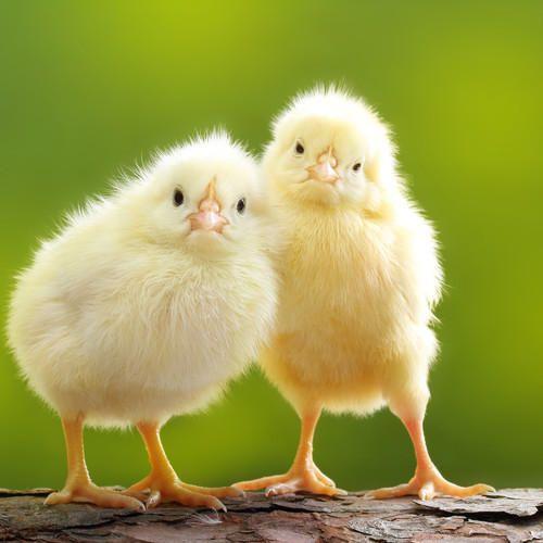 Silkie Chicks
