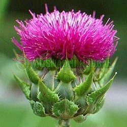 Aushadhi Herbal Milk Thistle Extract