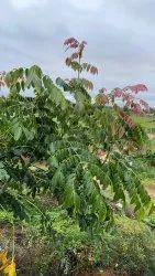 Acrocarpus Fraxinifolius Seeds