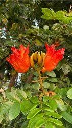 Spathodea Indian Tulip Tree Seeds